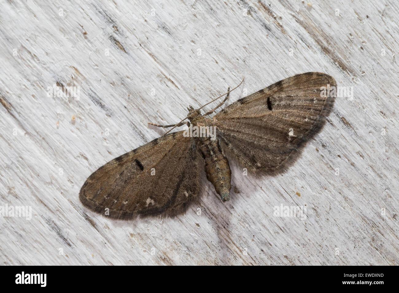 Currant pug, Hopfen-Blütenspanner, Eupithecia assimilata, l'Eupithécie du groseillier, du houblon, - Stock Image