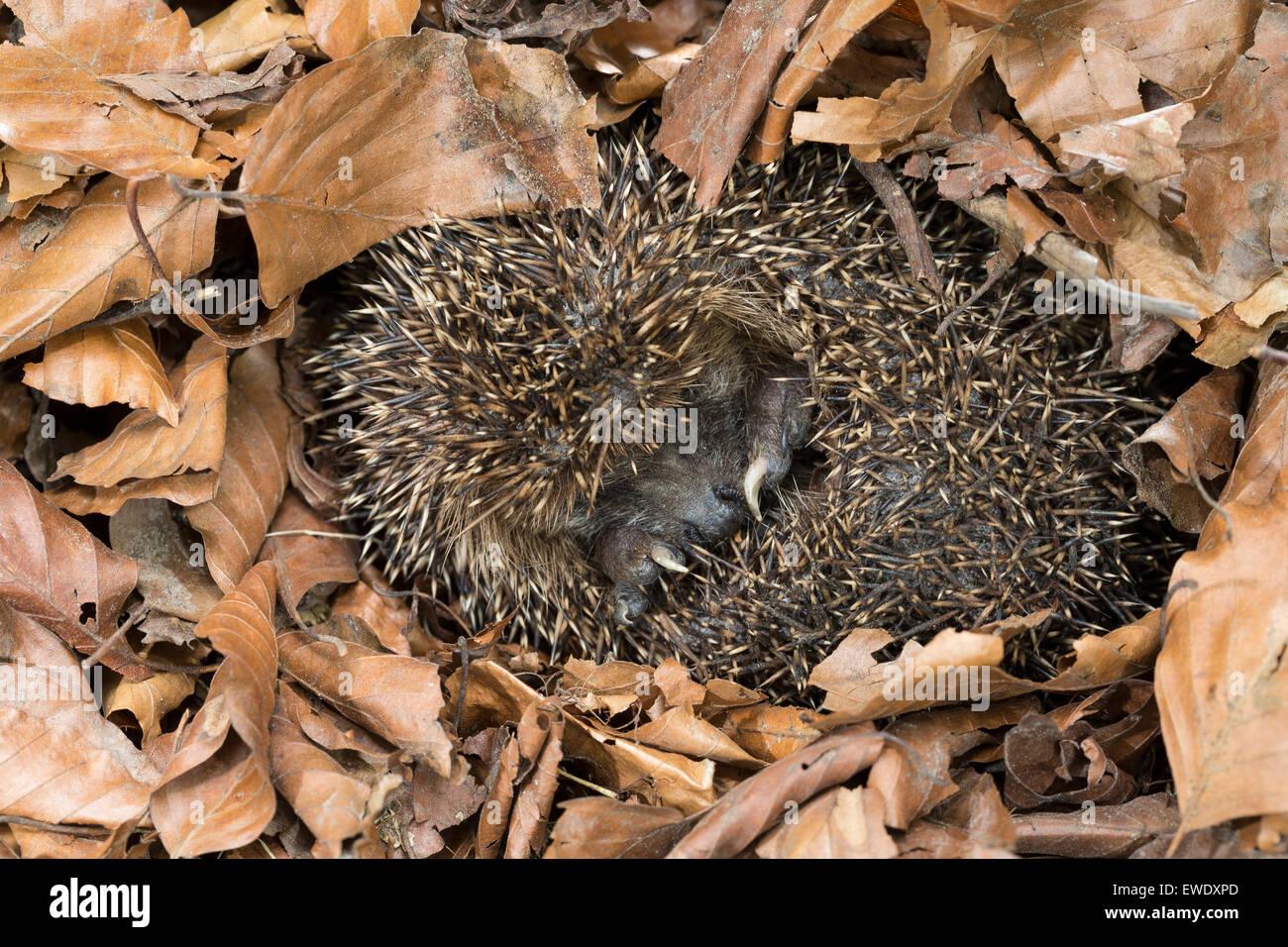 European hedgehog, hibernation, overwinter survival, Europäischer Igel, Winterschlaf, Überwinterung, Erinaceus - Stock Image