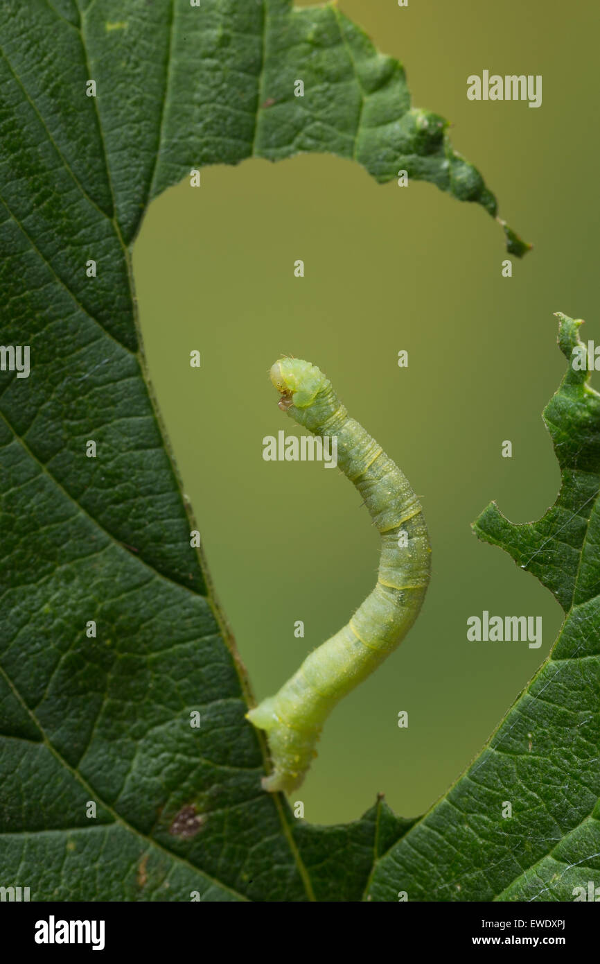 Currant pug, caterpillar, Hopfen-Blütenspanner, Raupe an Hopfen, Eupithecia assimilata, l'Eupithécie - Stock Image