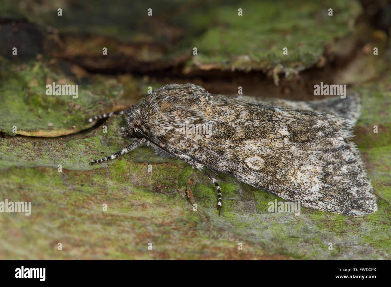 Poplar Grey, Großkopf-Rindeneule, Großkopf, Aueneule, Acronicta megacephala, Apatele megacephala, Eulenfalter, - Stock Image