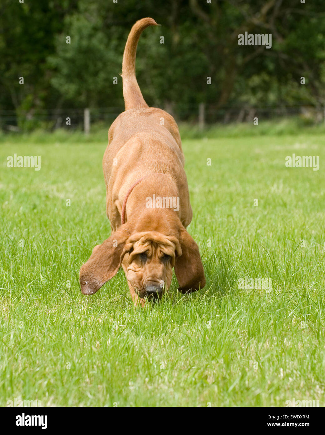 bloodhound sniffing - Stock Image