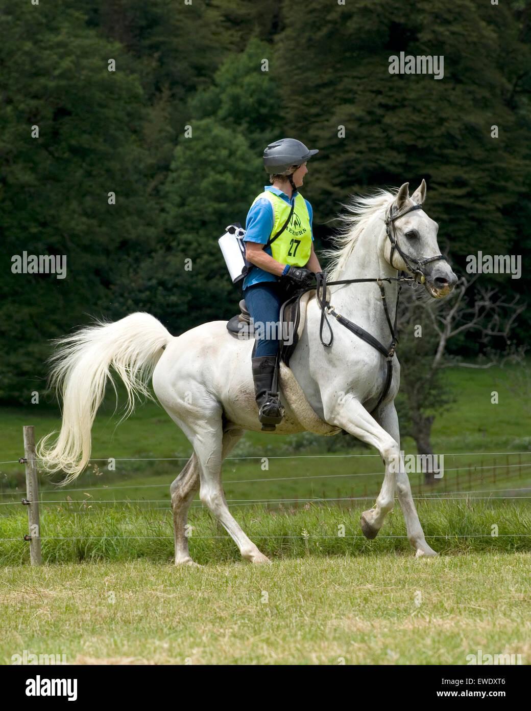 endurance horse rider on arab horse - Stock Image