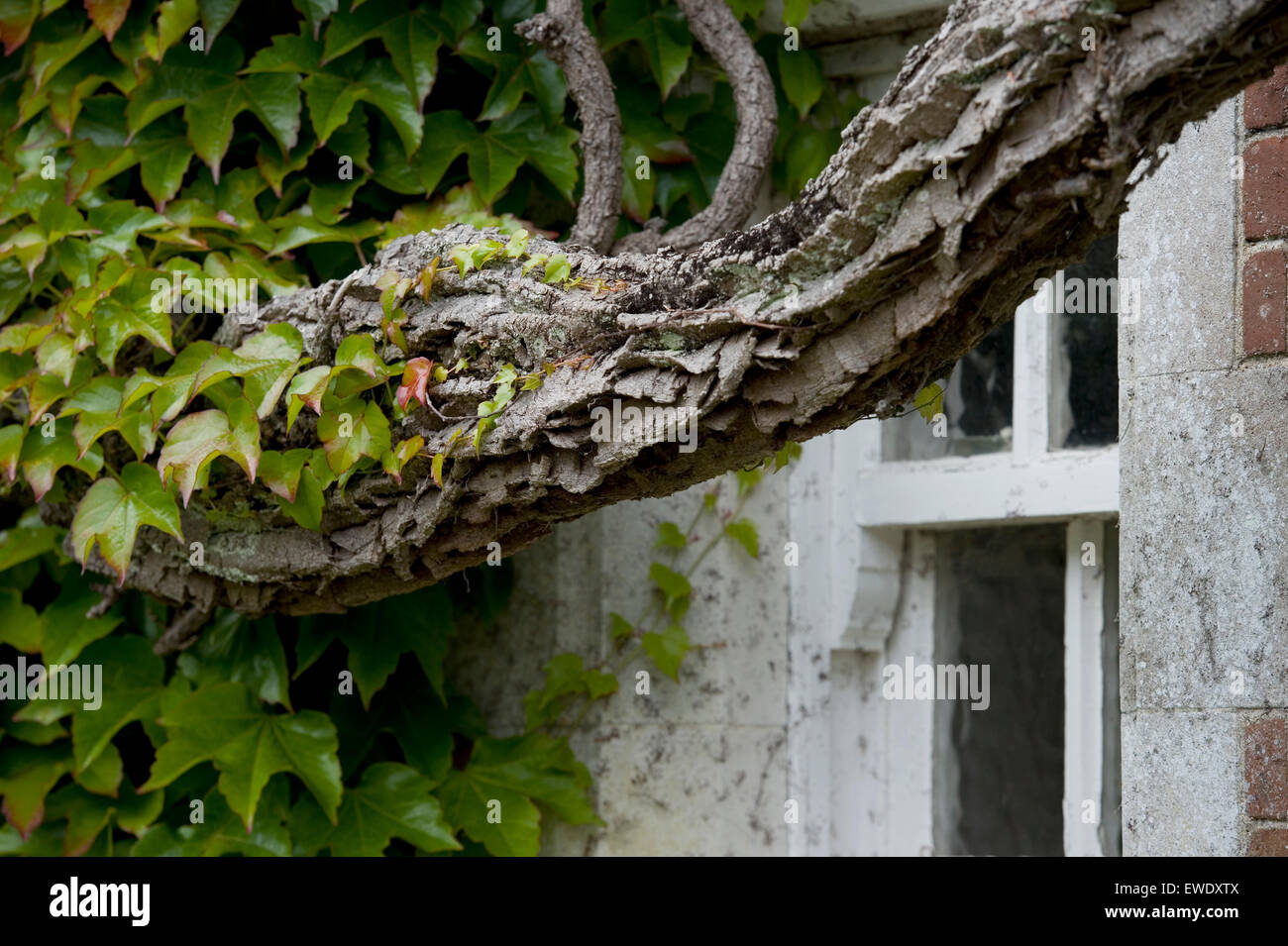 virginia creeper on an old house - Stock Image