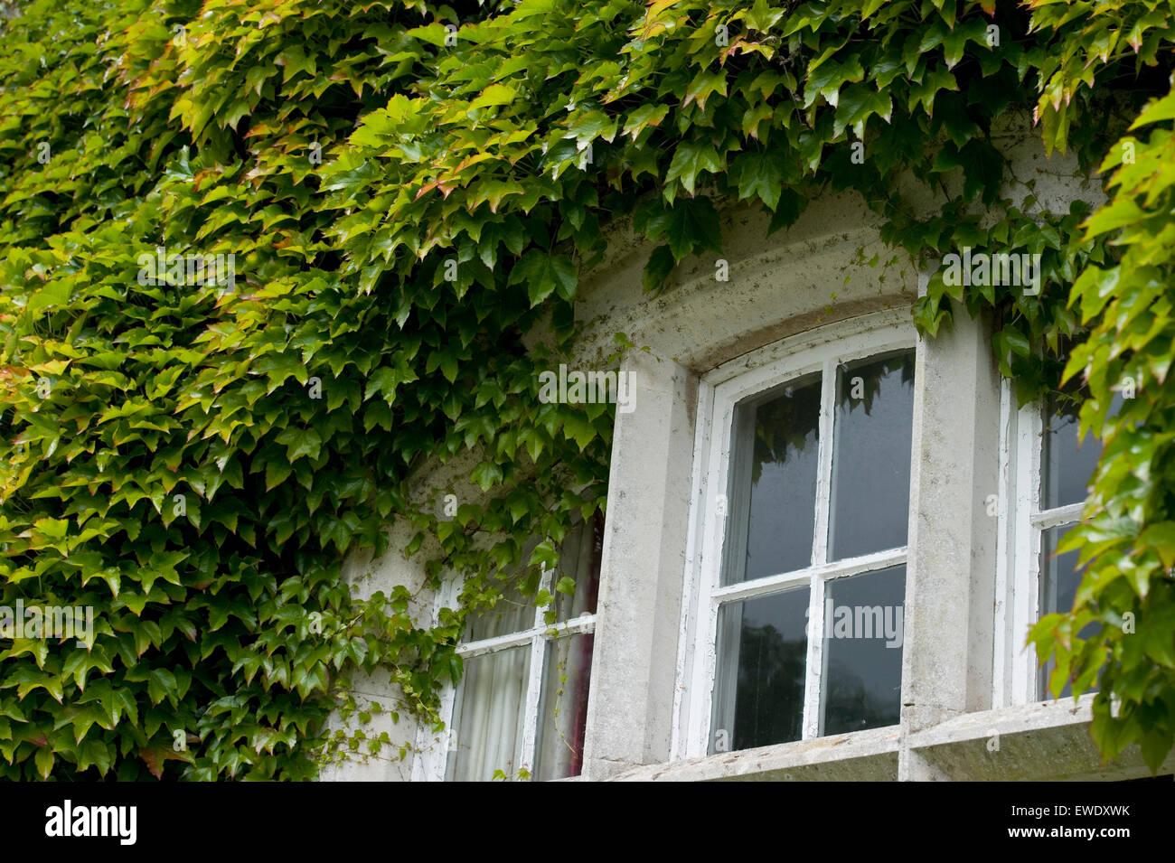 virginia creeper around an old house window - Stock Image