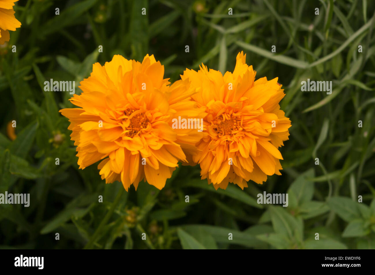 Yellow Flowers Coreopsis Calliopsis Tickseed Stock Photos Yellow