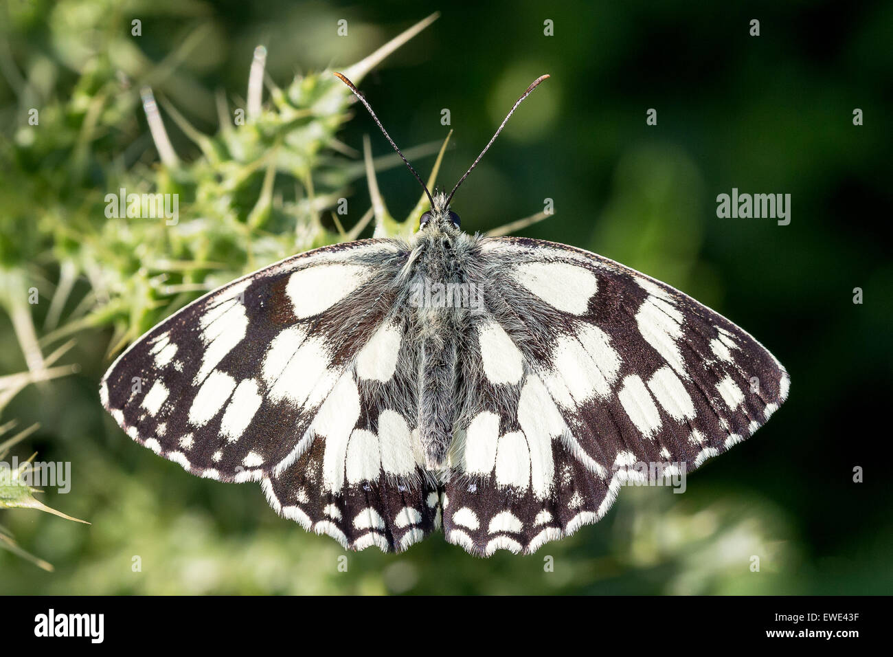 A Marbled White butterfly (Melanargia galathea) basks in the sun on Collard Hill in Somerset. - Stock Image