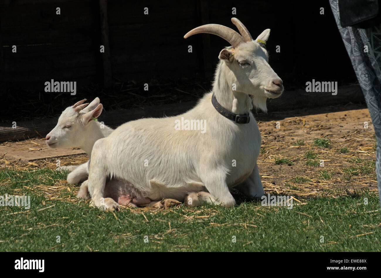 Saanen goats: photos, description and characteristics of the breed 65
