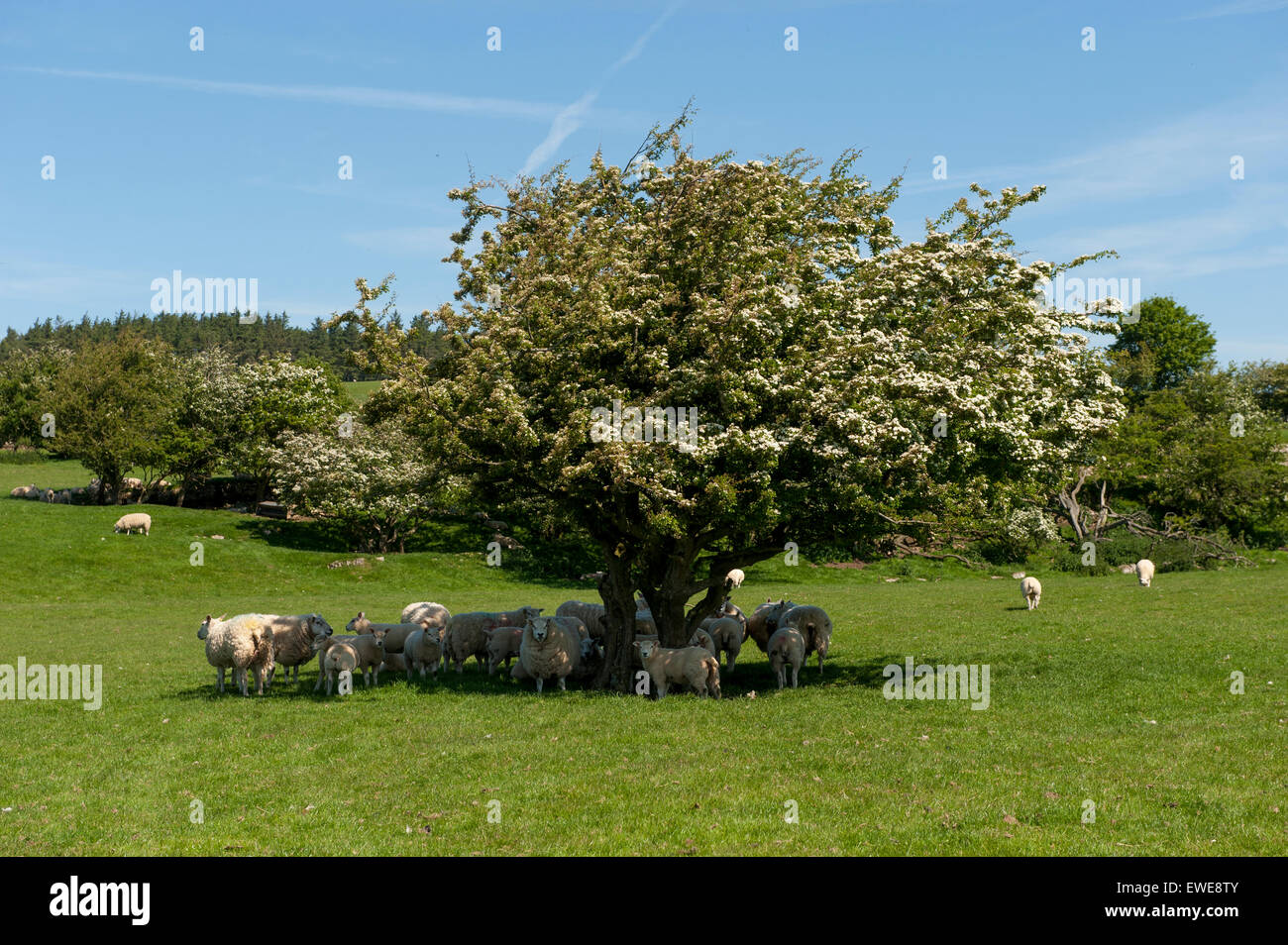 Flock of sheep sheltering from sun under a Hawthorn tree, Cumbria, UK - Stock Image