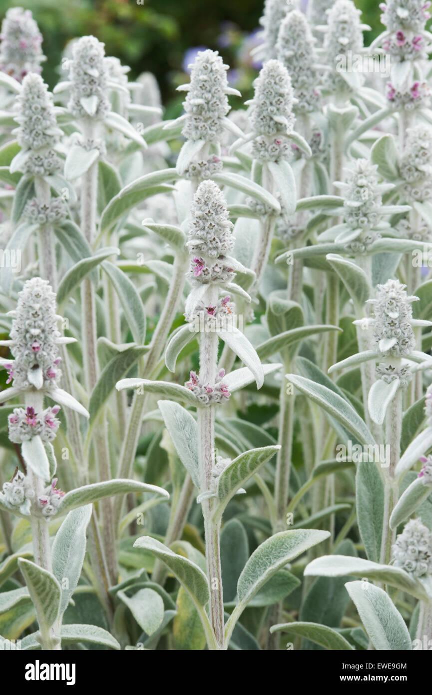 Stachys byzantina 'Silver Carpet'. Lambs Ear 'Silver Carpet' in flower
