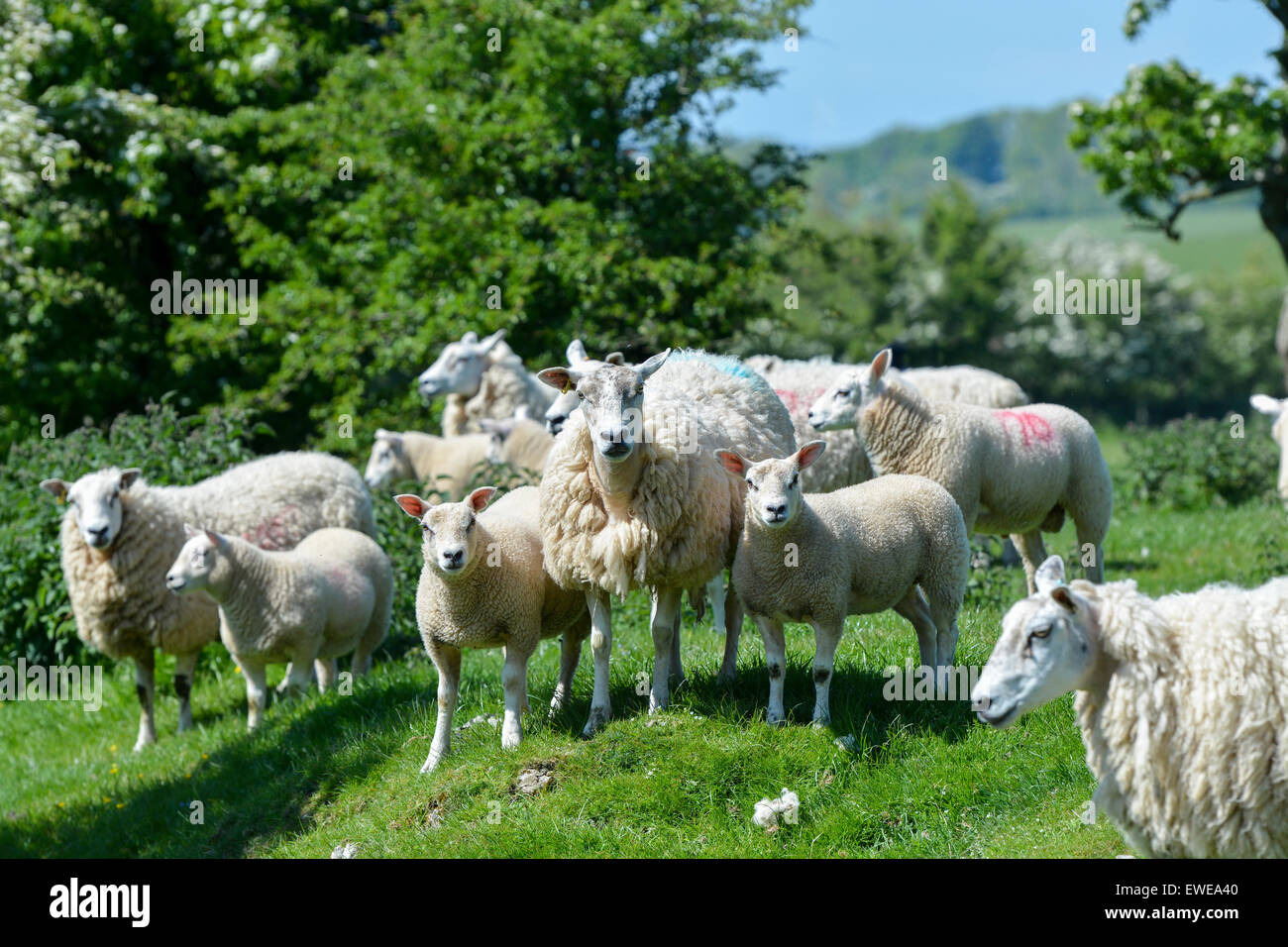 Sheep in pasture with beltex sired lambs at foot. Cumbria, UK. - Stock Image