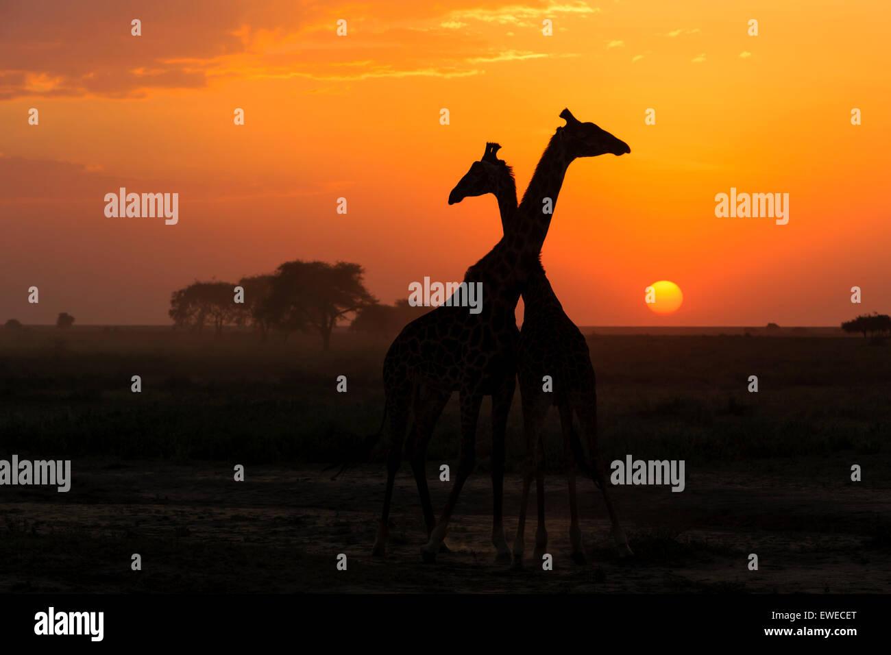 Masai Giraffe (Giraffa camelopardalis) at sunset in the Serengeti Tanzania - Stock Image