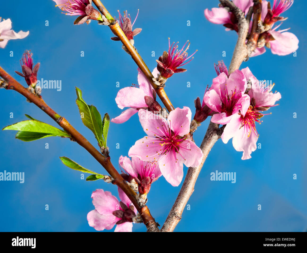 Pink Peach blossoms in Ontario;Canada fruit farm - Stock Image