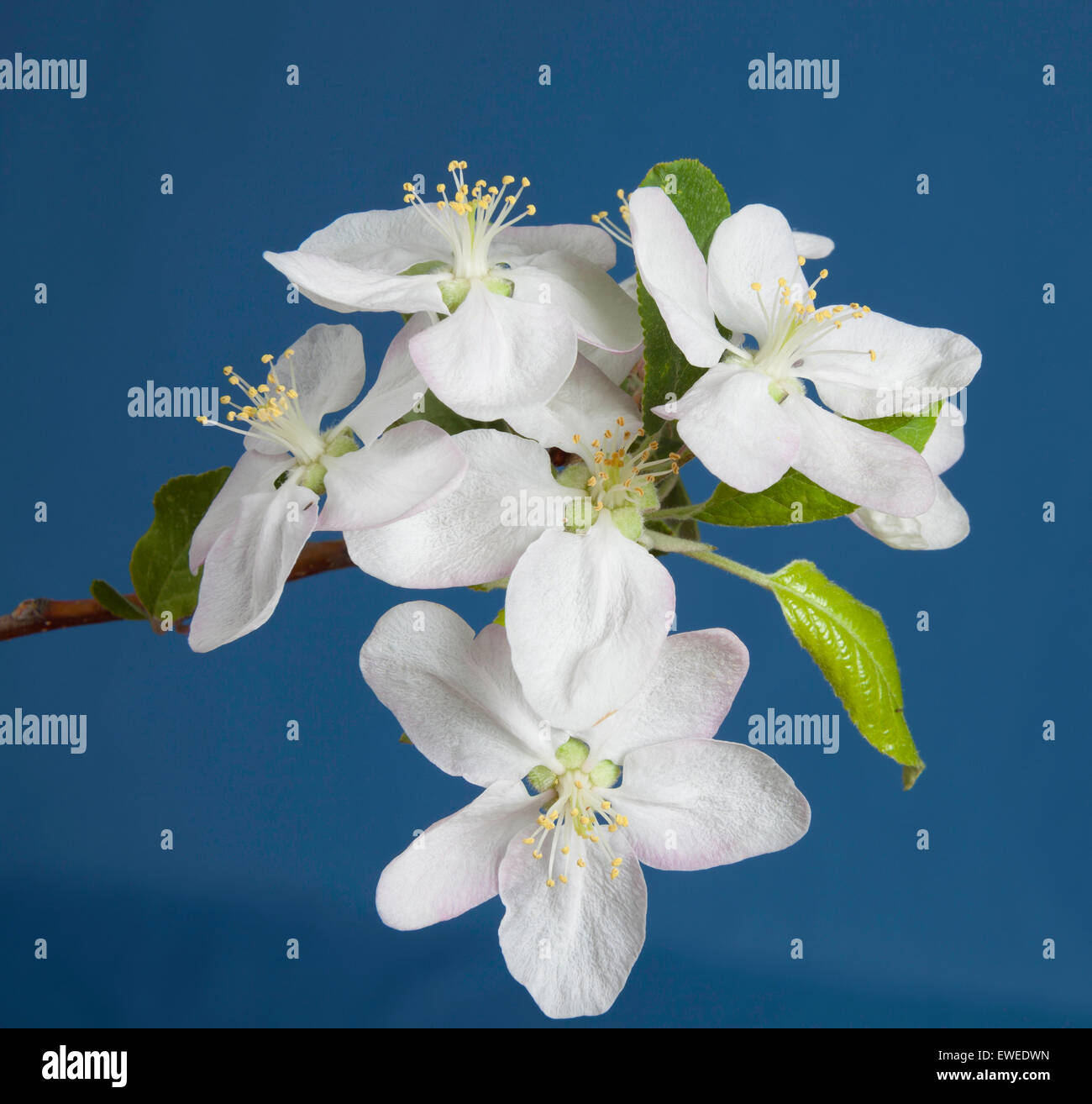 White Plum blossoms on a fruit farm in Ontario' Canada - Stock Image