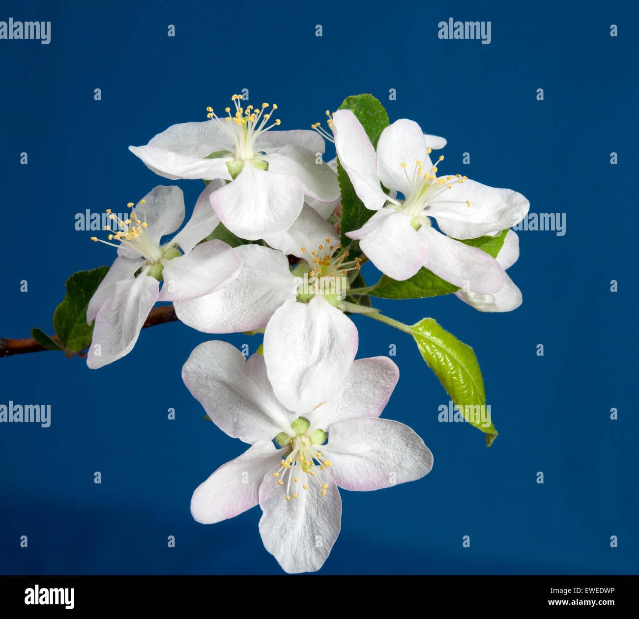 White Plum in Ontario;Canada fruit farm, plum blossom - Stock Image