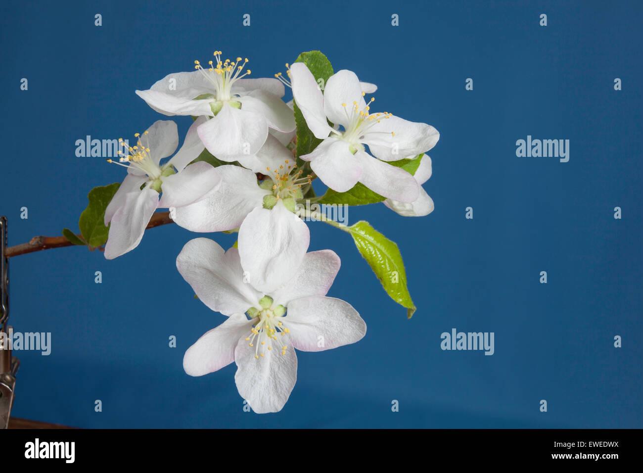 Plum blossoms in Ontario;Canada fruit farm - Stock Image