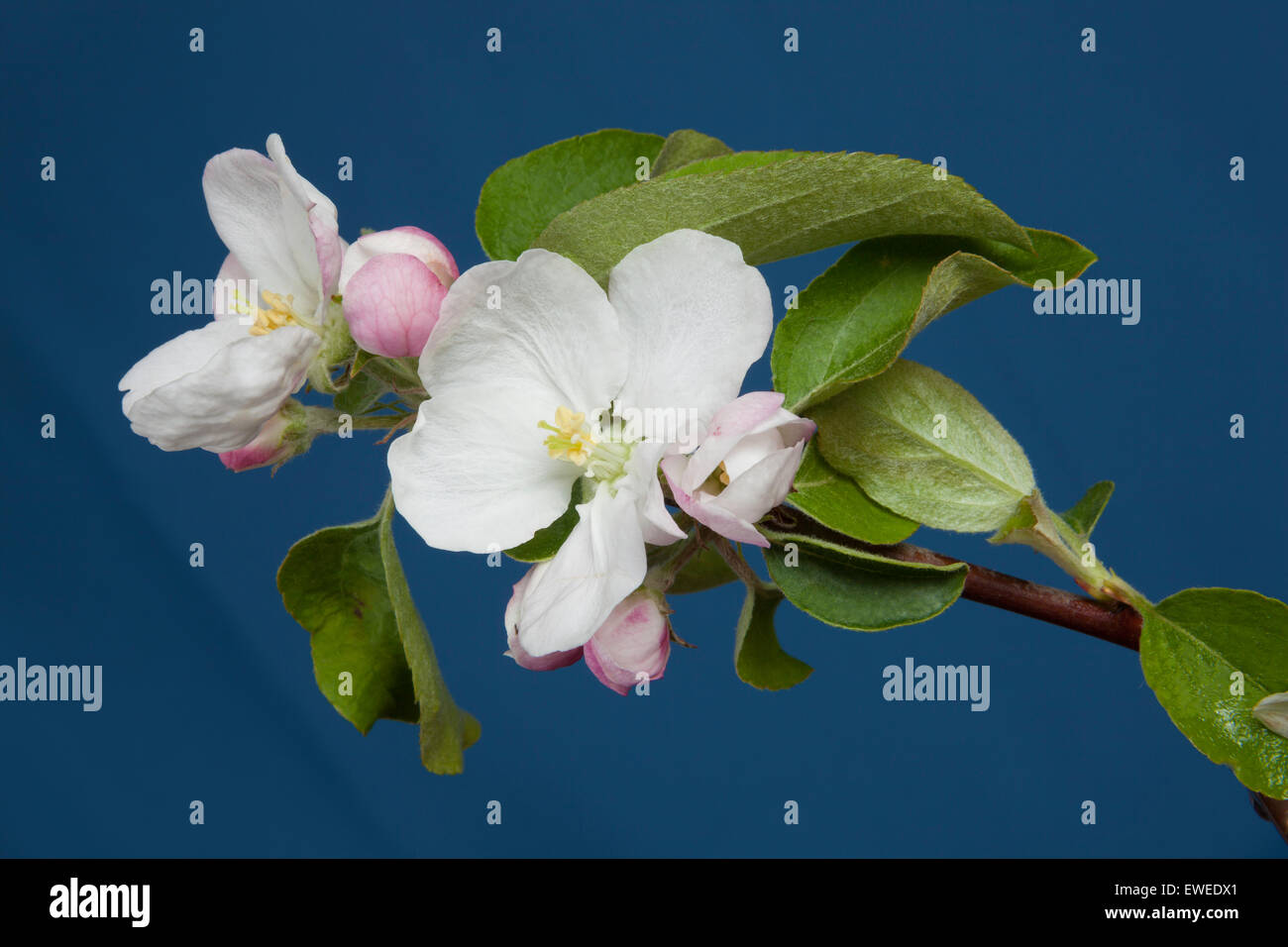 Apple blossoms in Ontario;Canada fruit farm - Stock Image