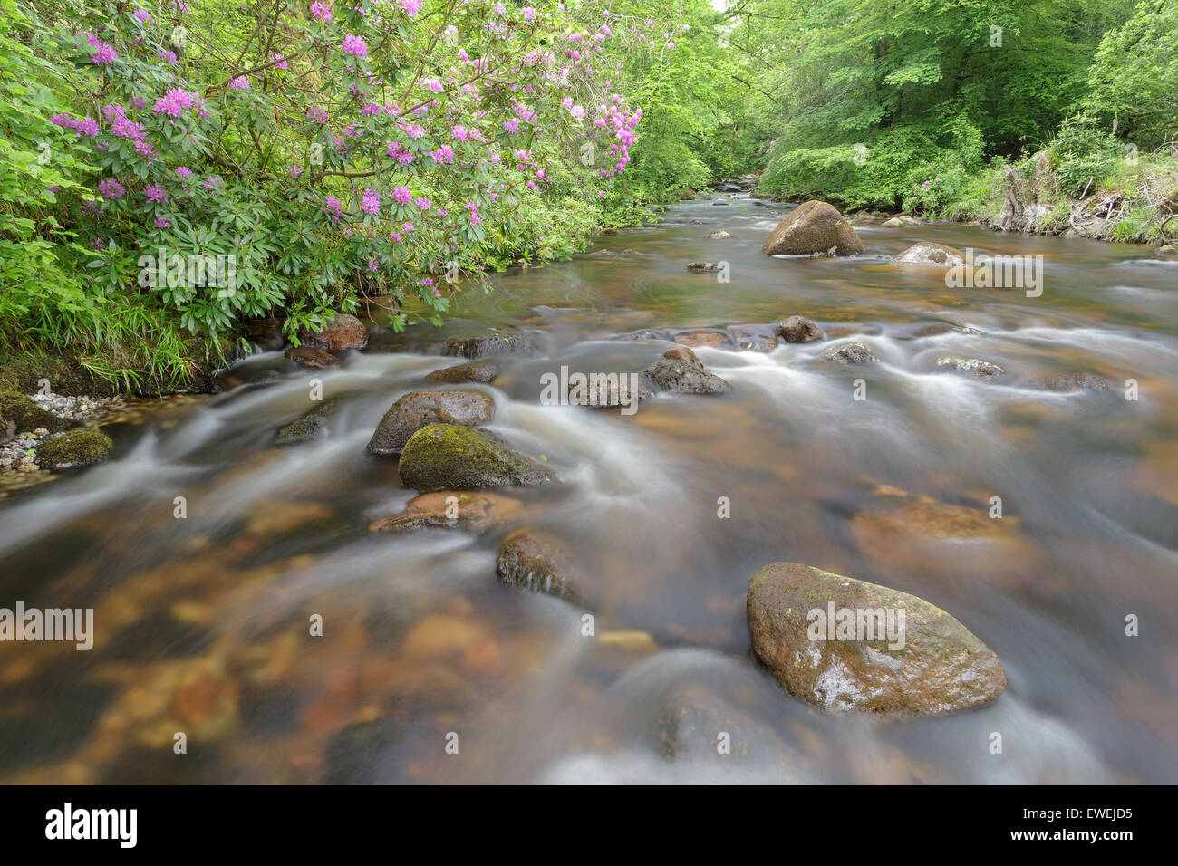 Rhododendrons in bloom on the river Avon. - Stock Image