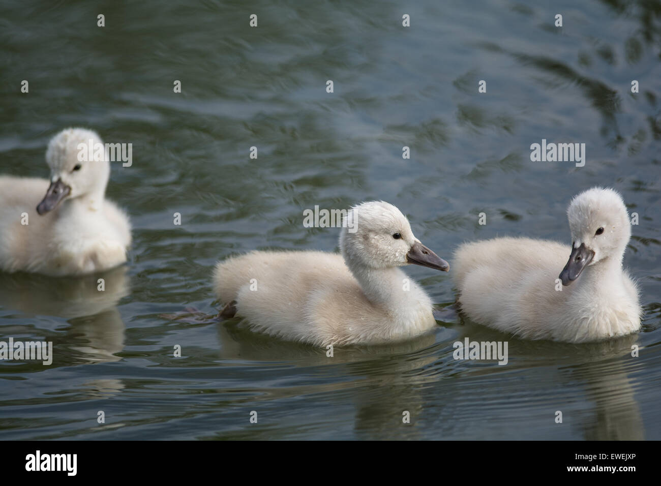 Three young Mute swan (Cygnus olor) cygnets swimming on the surface of a pond. - Stock Image