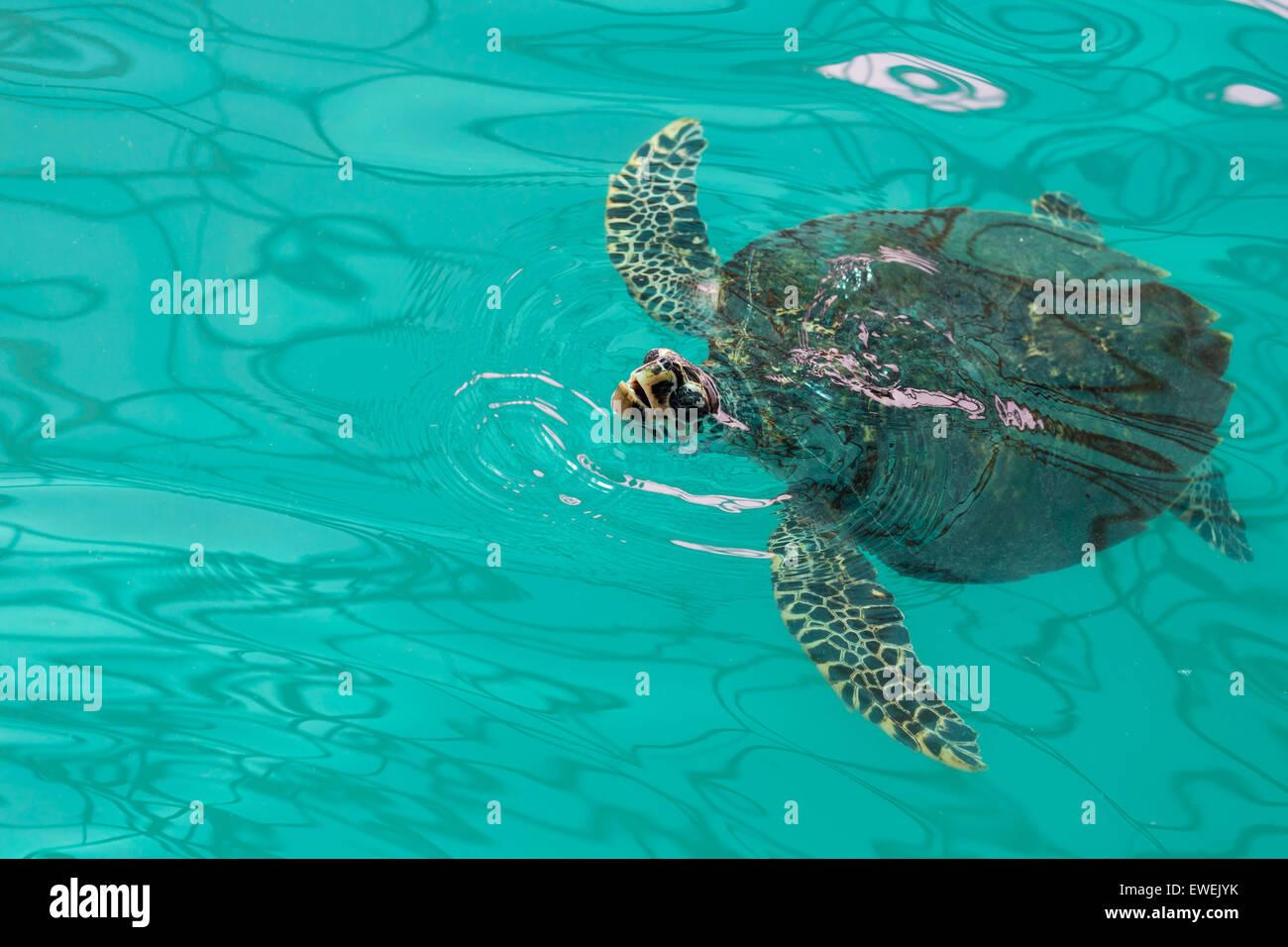 Sea turtle swimming in a green pool Stock Photo: 84530087 ...