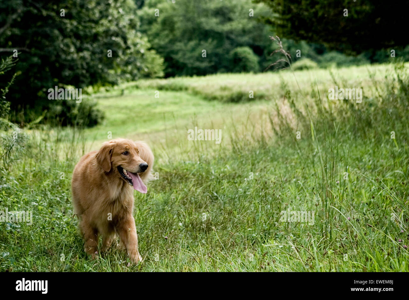 Adult Golden Retriever dog strolling through a vast grassy field with a background of trees out in nature - Stock Image