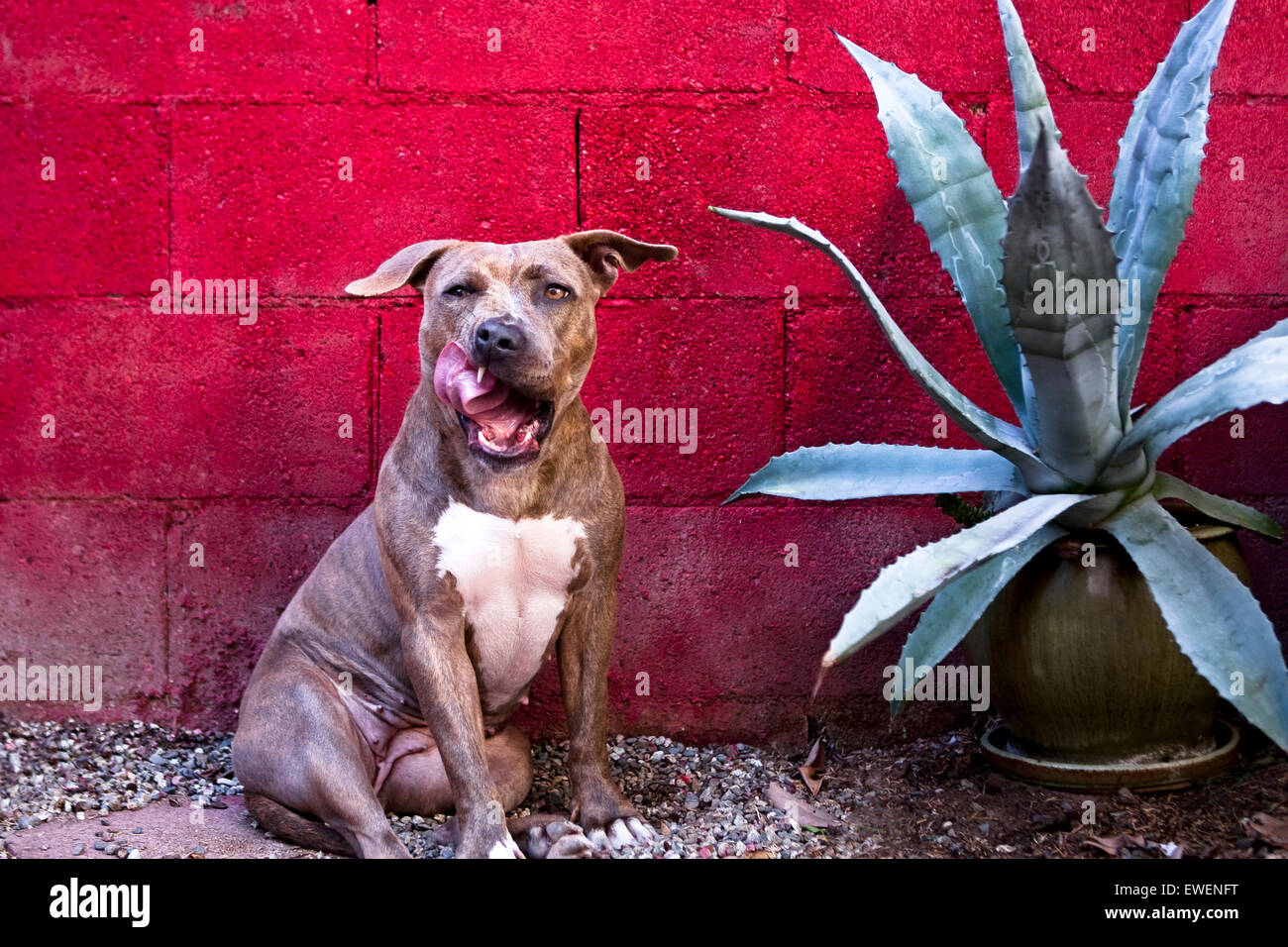 Humorous portrait of pitbull dog sitting against red block wall licking chops next to potted cactus plant - Stock Image