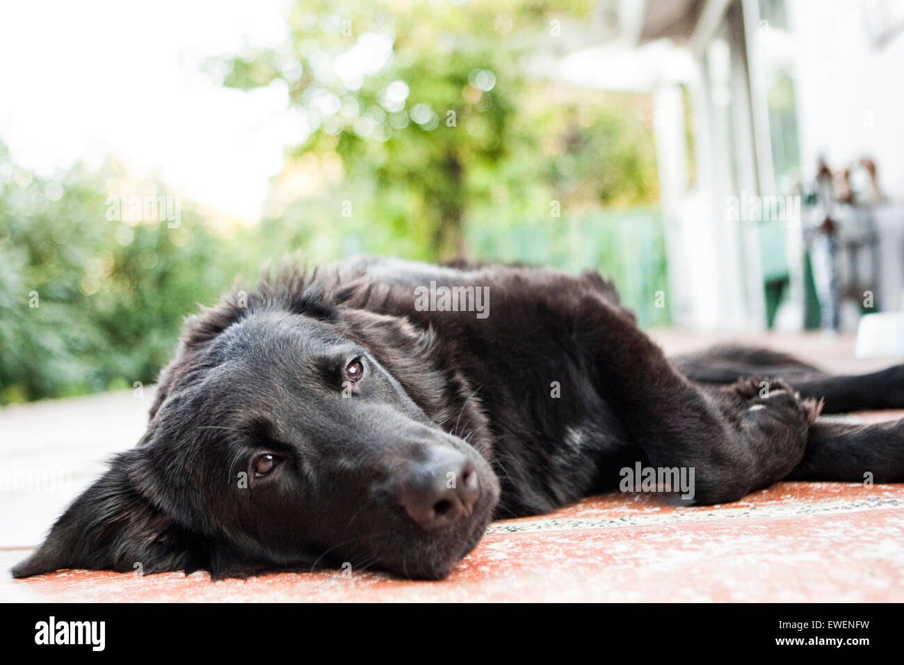 Flat Coat Retriever dog laying down relaxing on concrete deck of house - Stock Image