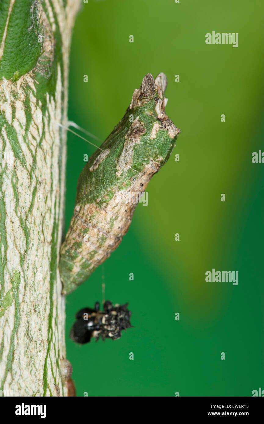 Dainty swallowtail pupa on orange tree - Stock Image