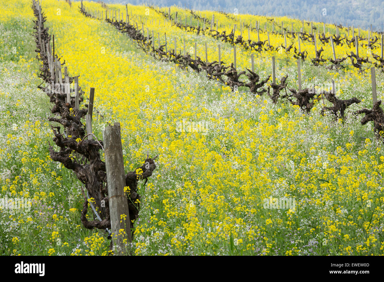 Rolling hillside in Sonoma Valley with old grapevines, mustard flowers and other wildflowers, California - Stock Image