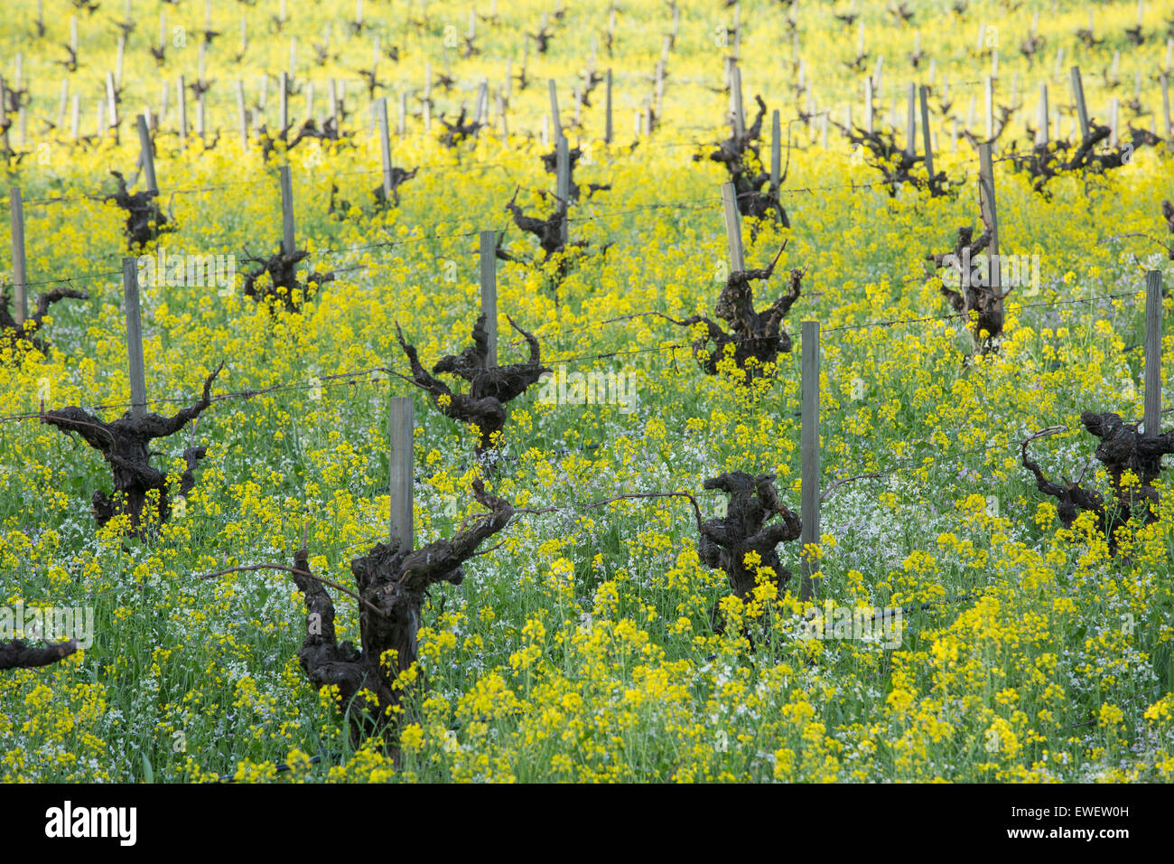 Field in Sonoma Valley with old grapevines, mustard flowers, and other wildflowers, Sonoma County, California, USA - Stock Image