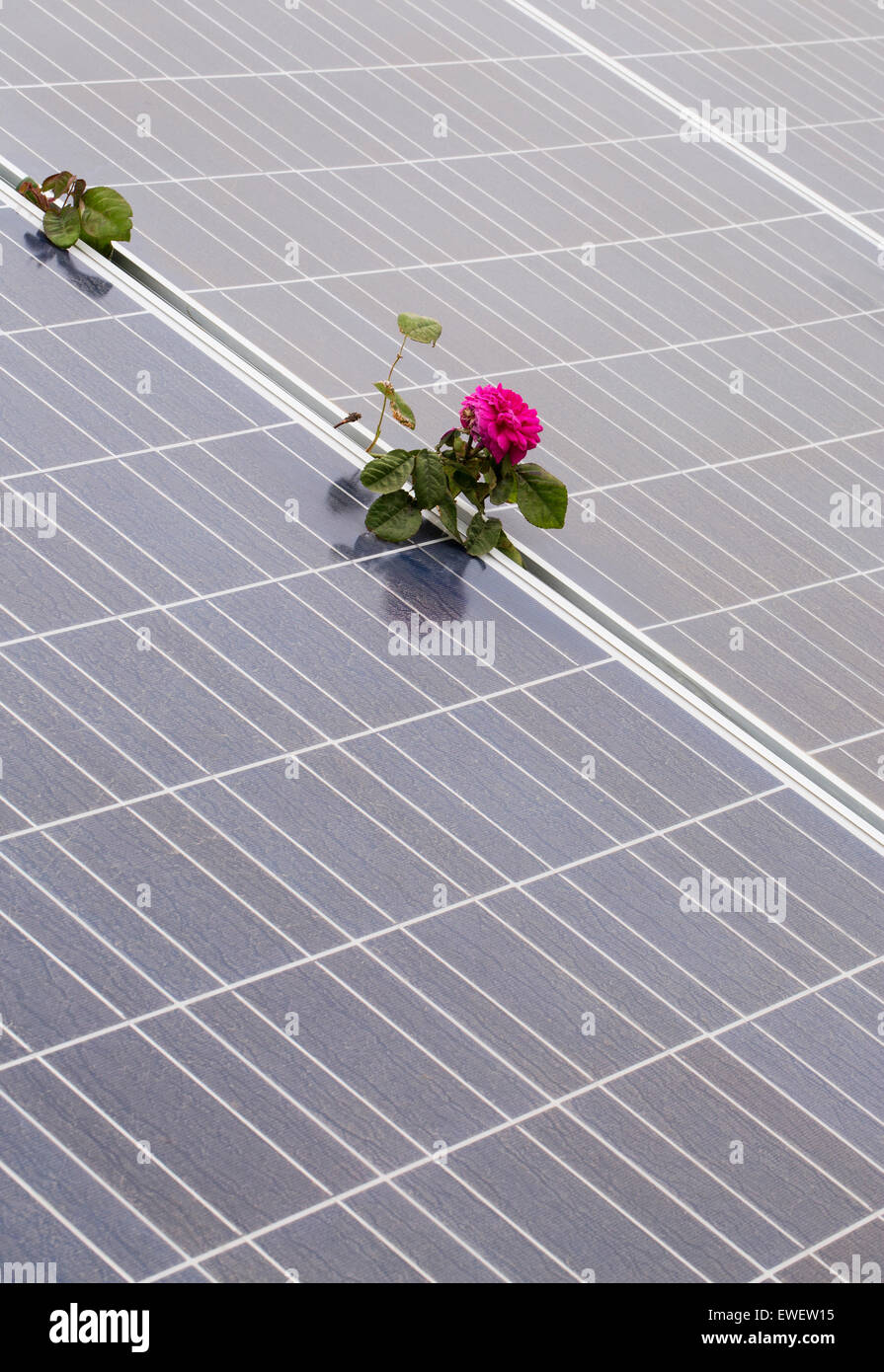Rose growing between solar panels at Russian River Rose Company in Healdsburg, Sonoma County, California, USA North - Stock Image