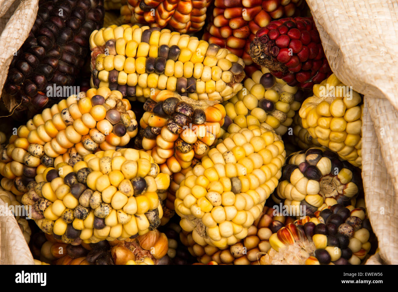 Many varieties of hand-grown corn at the rural farmers markets in Peru. - Stock Image