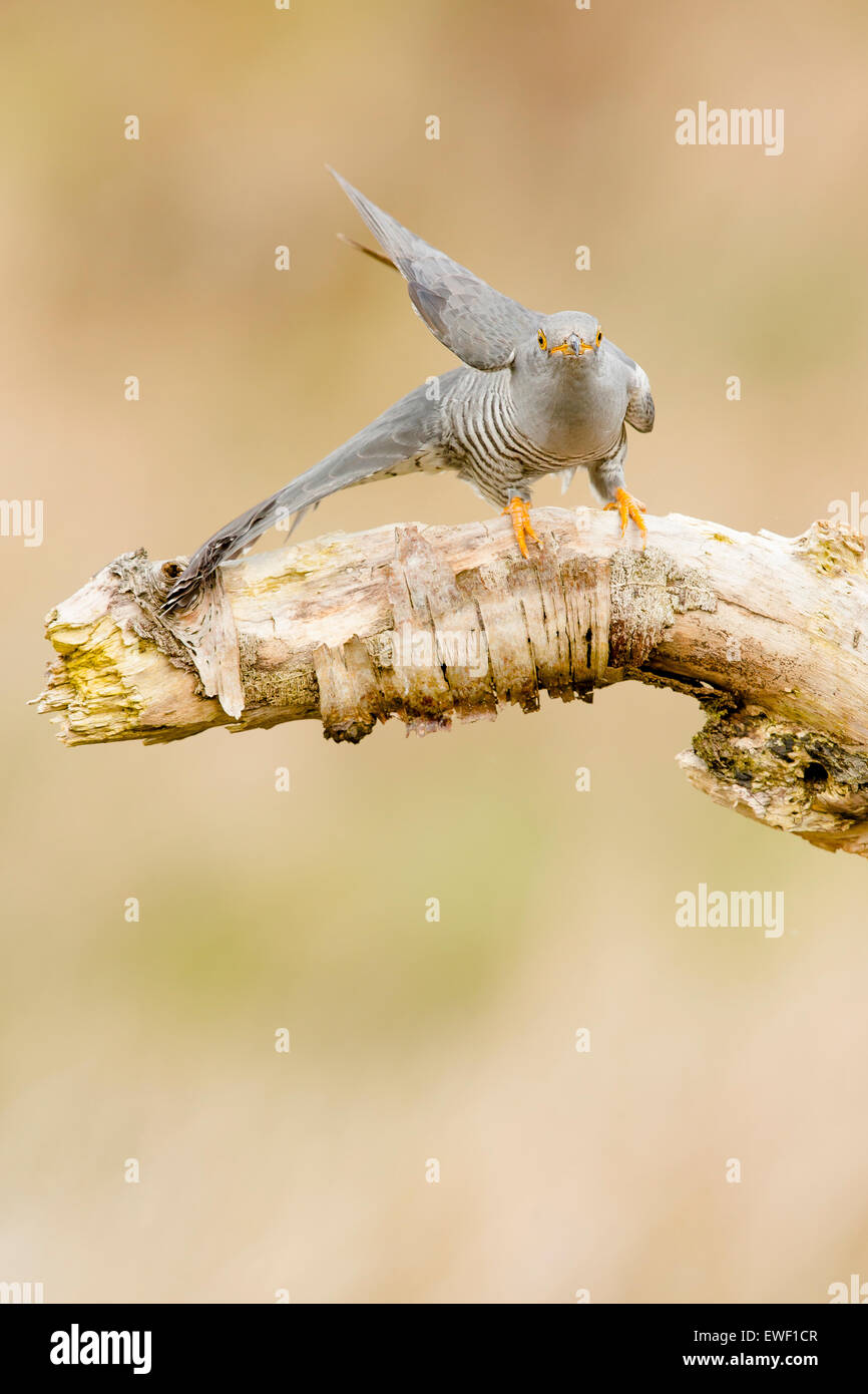 Common Cuckoo calling and looking for food - Stock Image