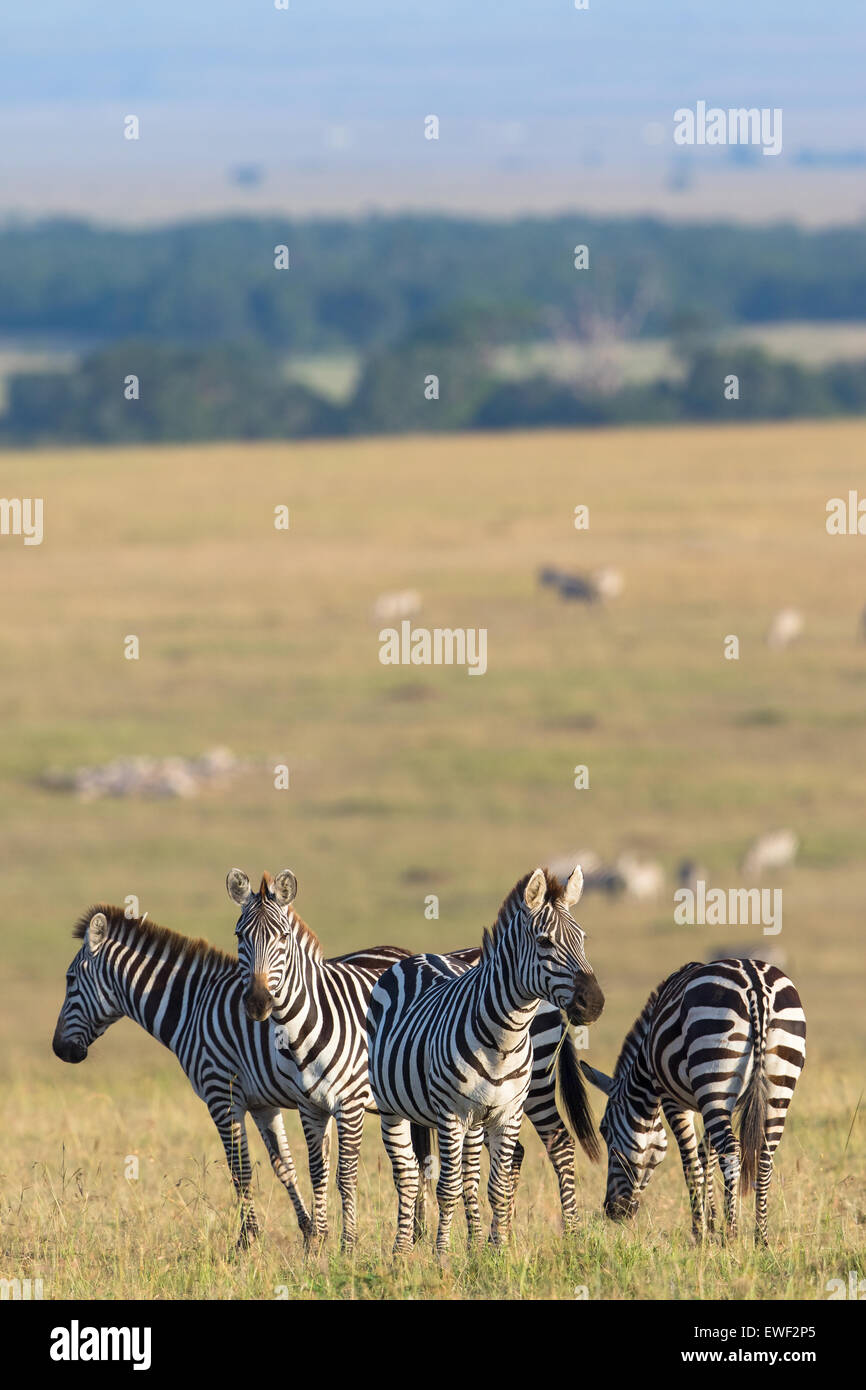 Zebras flock standing in the savannah and are watching - Stock Image