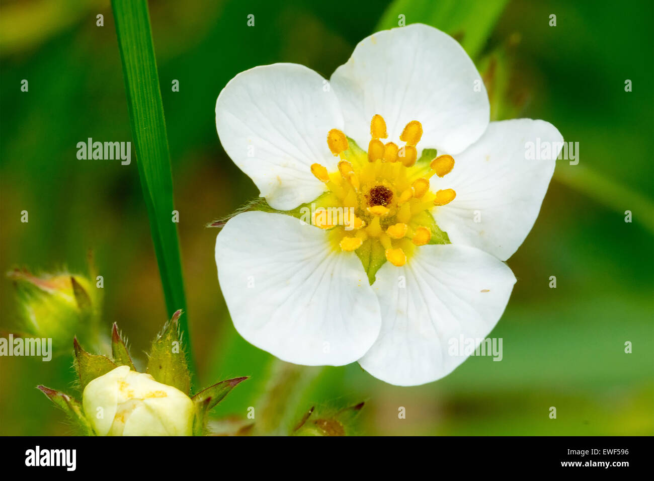 White Flower With Yellow Center Stock Photos White Flower With