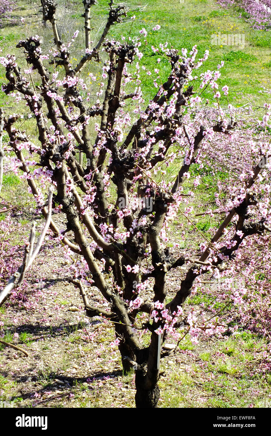 FRUIT TREE - Stock Image