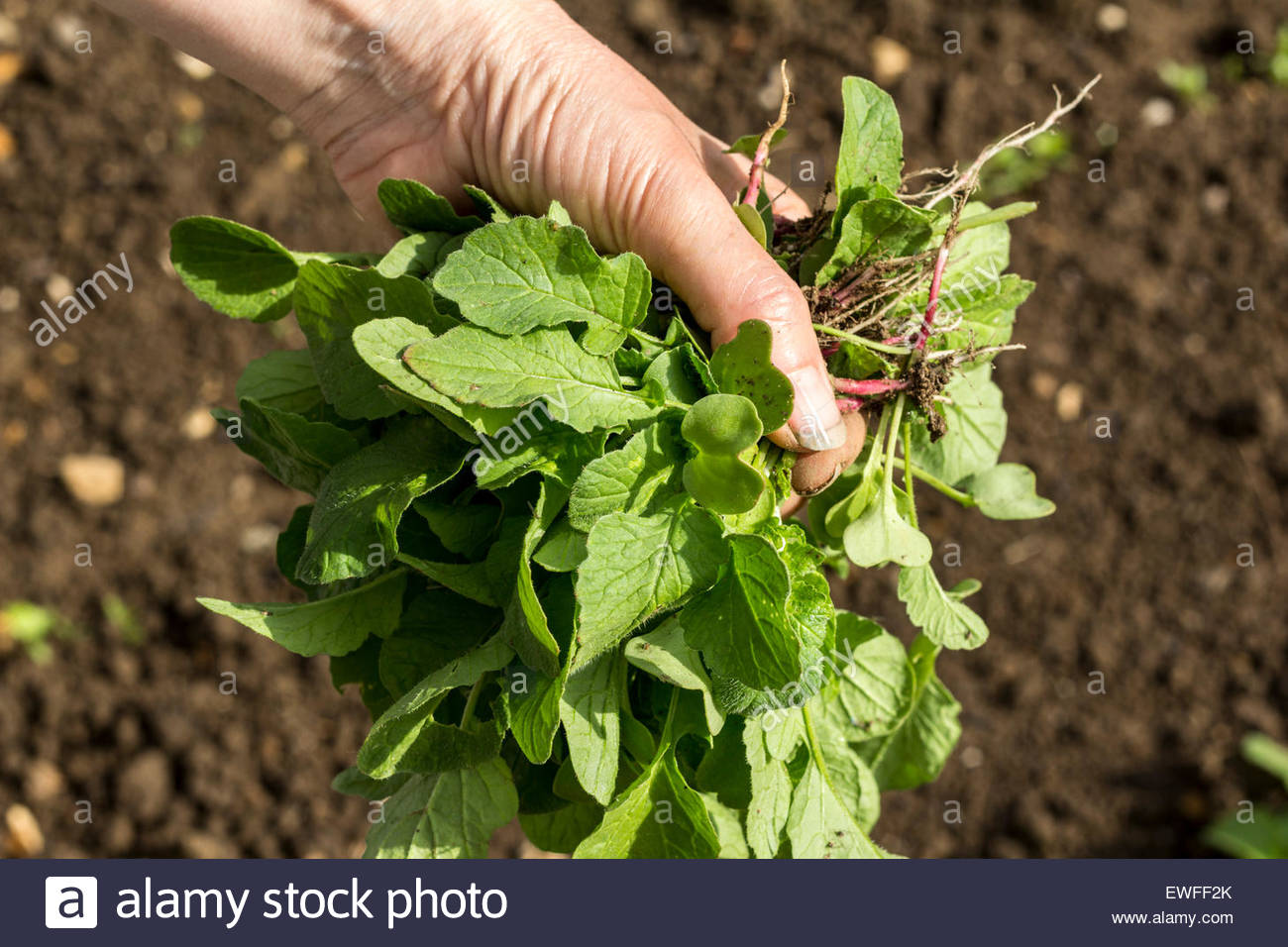 Gardener with a handful of radish seedlings that have been thinned out - Stock Image