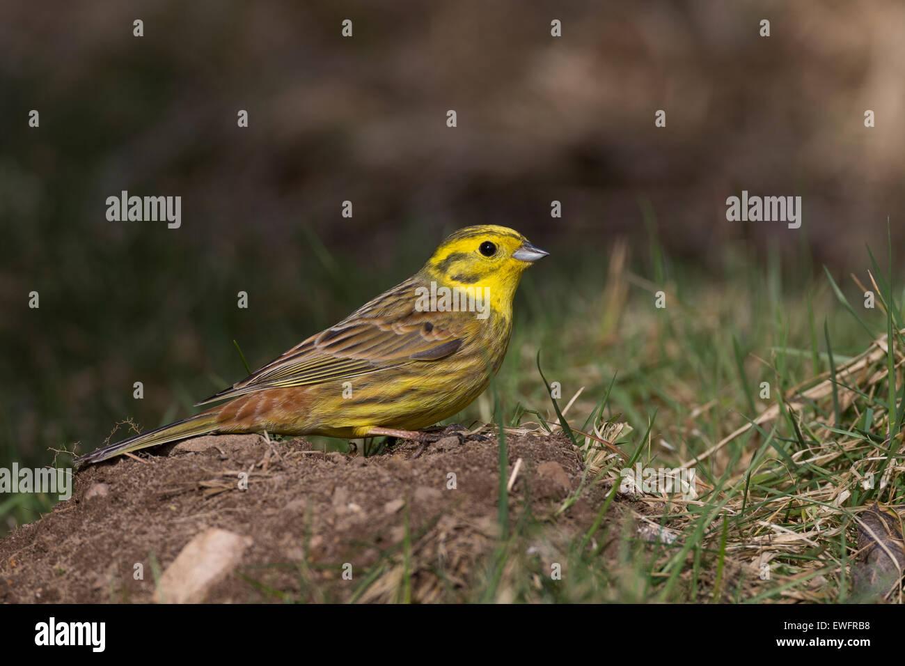 Yellowhammer, Goldammer, Gold-Ammer, Ammer, Emberiza citrinella, Le Bruant jaune - Stock Image