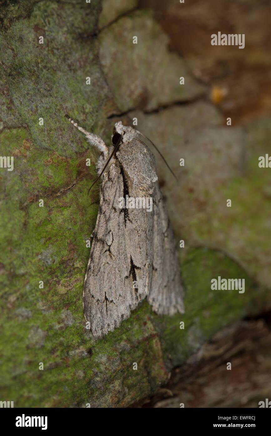 Grey dagger, grey dagger moth, Pfeileule, Pfeil-Eule, Schleheneule, Acronicta psi, Eulenfalter, Noctuidae - Stock Image