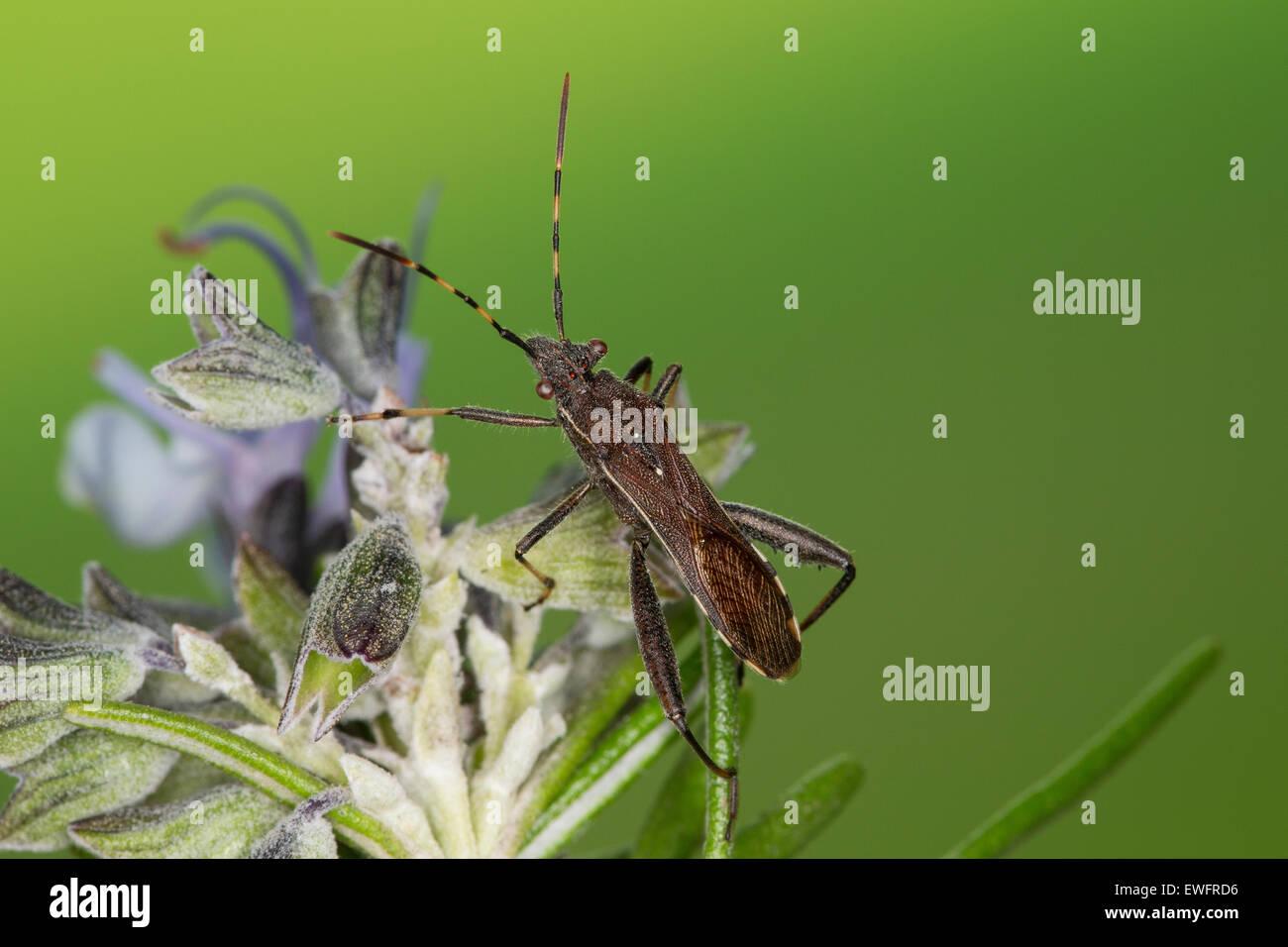 Broad-headed Bug, Sichelbein, Sichelbein-Wanze, Krummfühlerwanze, Krummfühler-Wanze, Camptopus lateralis - Stock Image