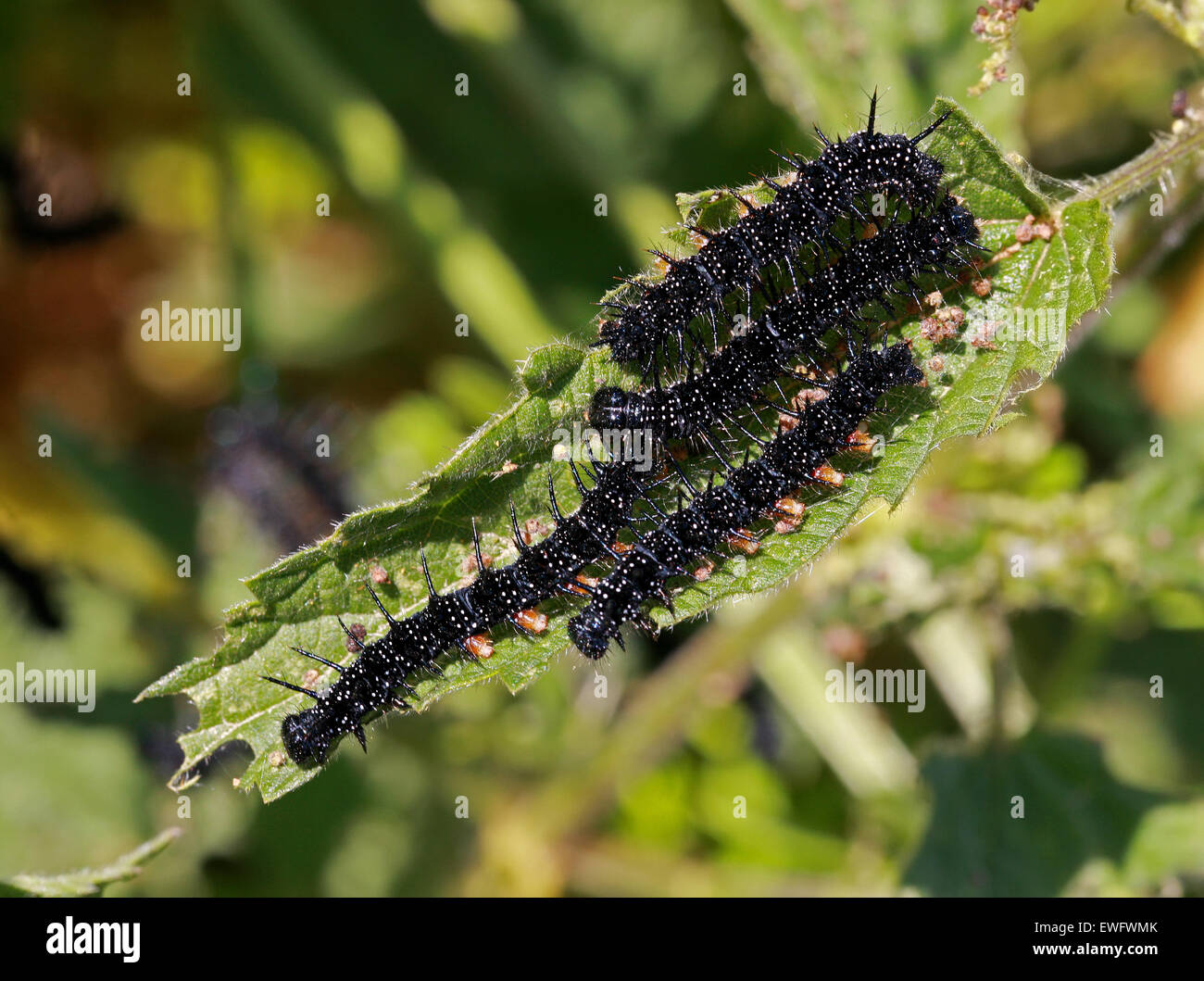 Peacock Butterfly Caterpillars, Inachis io, Nymphalidae, Feeding on Stinging Nettles, Urtica dioica. - Stock Image