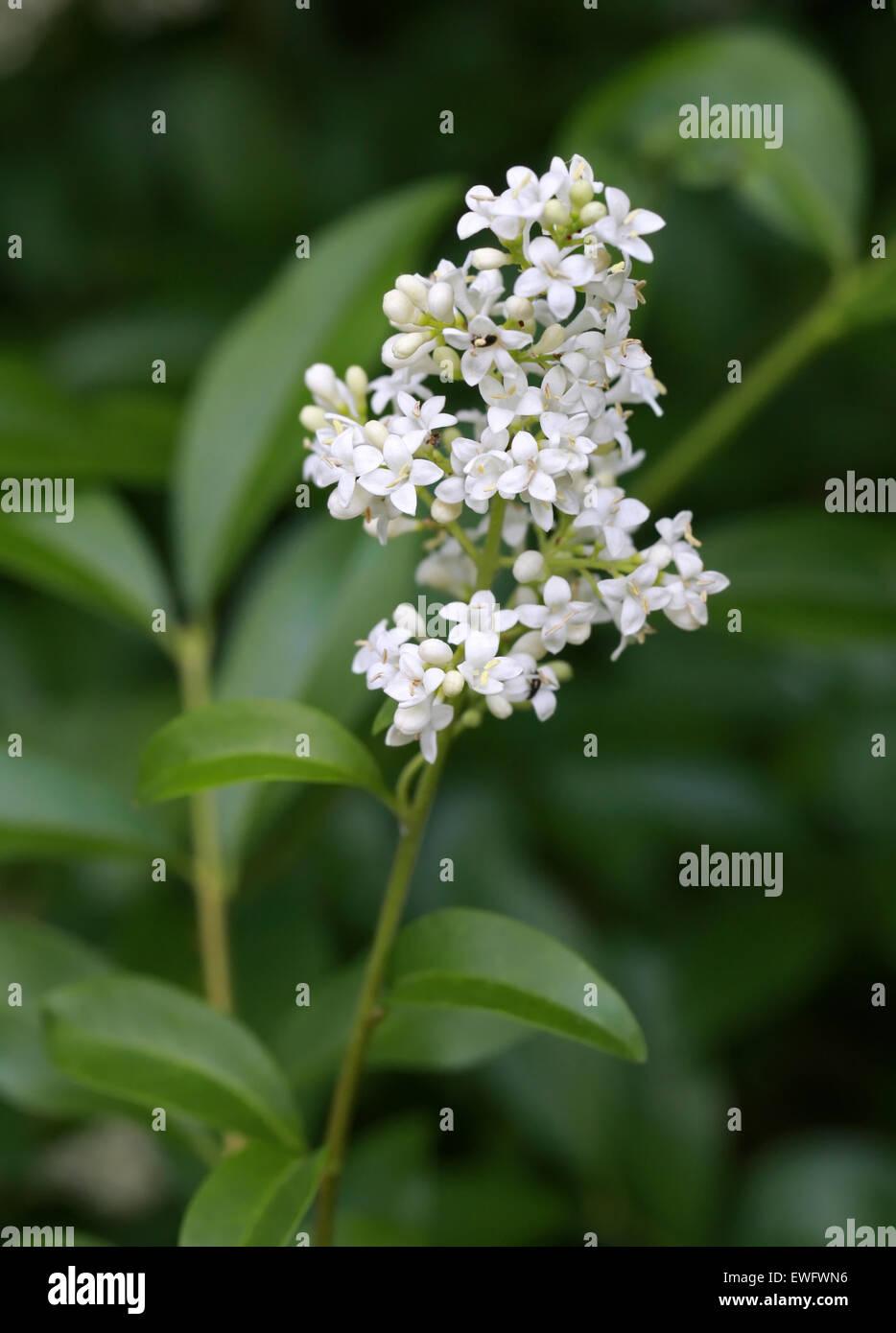 Common Privet or European Privet, Ligustrum vulgare, Oleaceae. Stock Photo