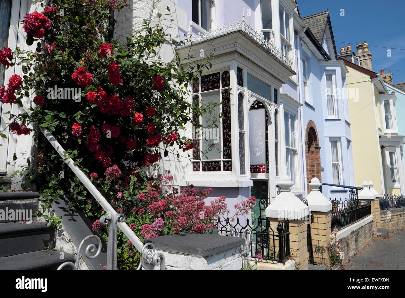 Danse de feu red climbing rose on front of a house on High Terrace in New Quay, Ceredigion Wales UK  KATHY DEWITT - Stock Image