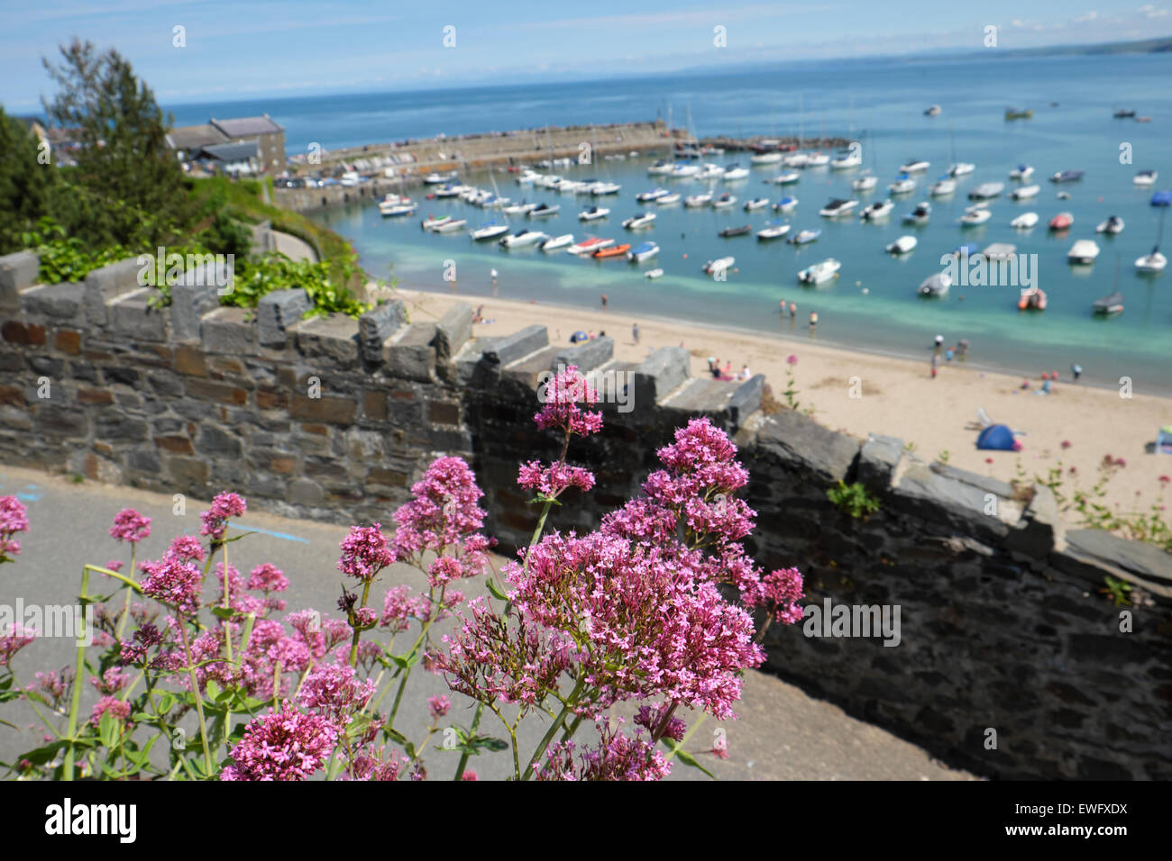 A view of boats in the harbor, beach and pink verbascum flowers by stone wall New Quay, Ceredigion Wales UK  KATHY - Stock Image