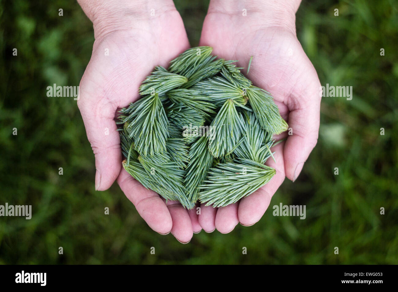 Two Hands Holding Pine Clippings - Stock Image
