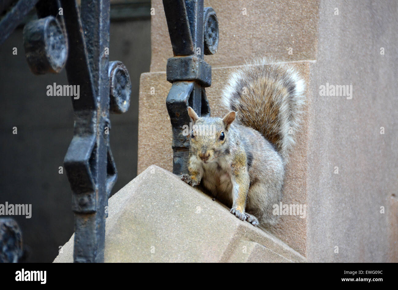 squirrel urban new york house stoop grey gray - Stock Image