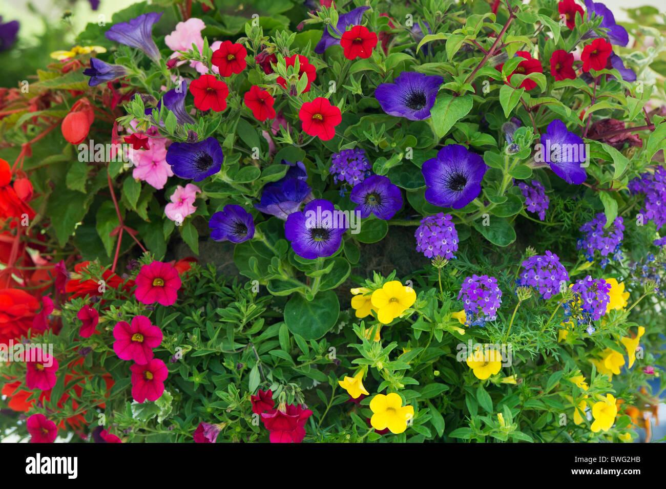 Calibrachoa. Petunia Million Bells flowers in a hanging basket - Stock Image