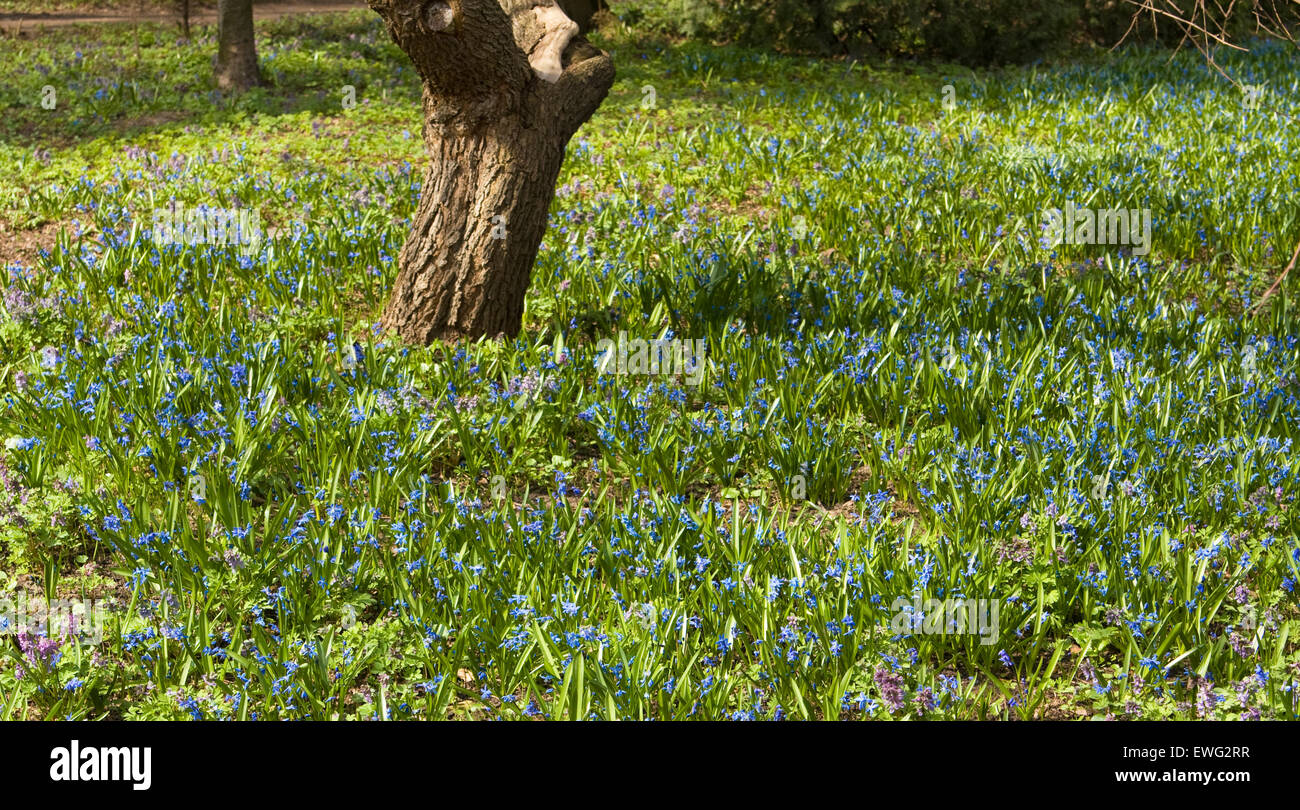 Many first spring flowers, latin name Scilla Siverica, blue colour ...