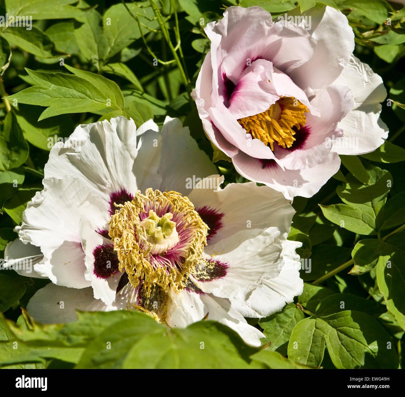 Two big white flowers of treelike peony Stock Photo: 84562509 - Alamy