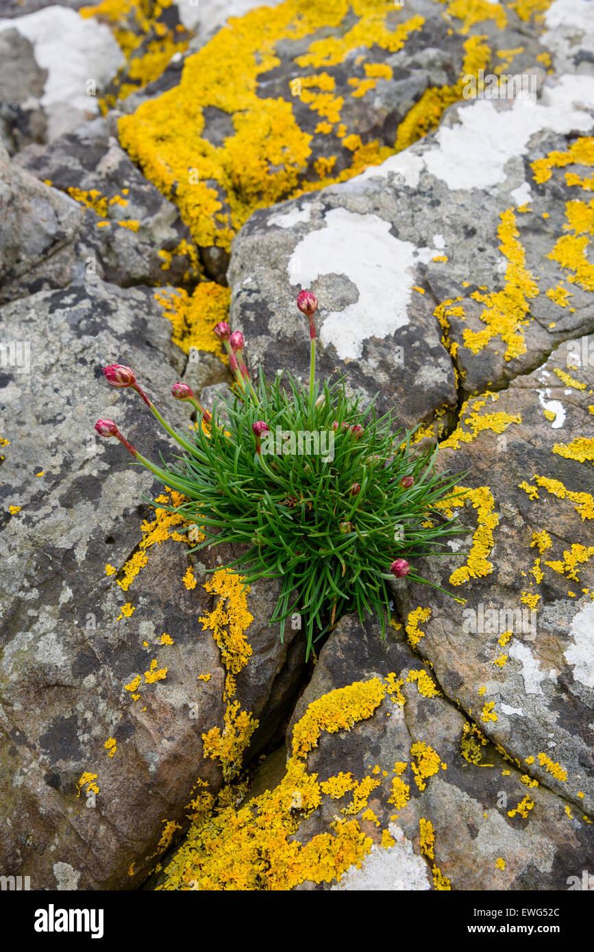 Thrift, Armeria maritima, wildflower, Isle of Mull, Hebrides, Argyll and Bute, Scotland - Stock Image