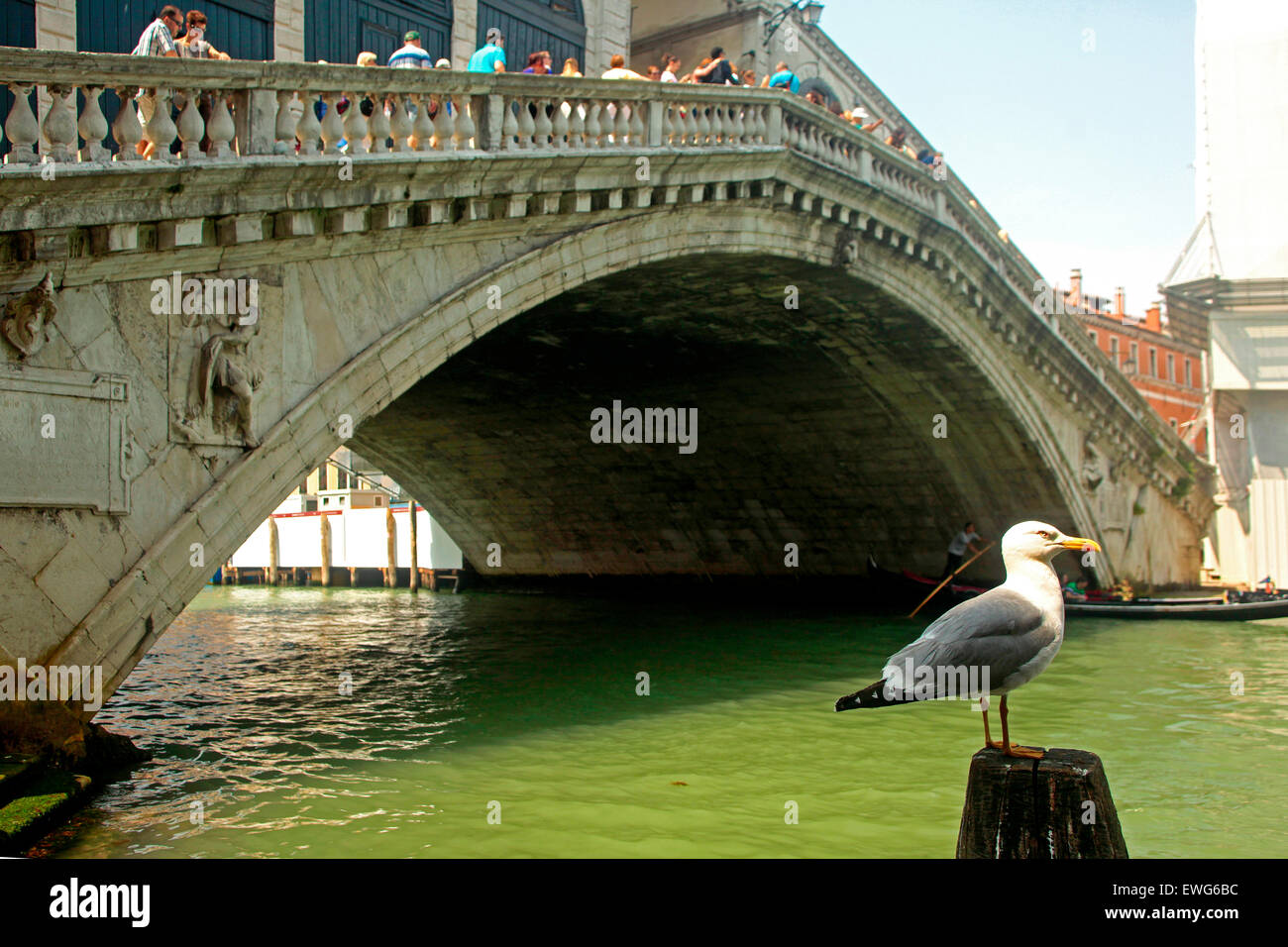Venice- Yellow legged Gull (Larus michahellis) and Rialto Bridge - Stock Image